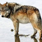 A male wolf from the Canyon Pack stands in shallow water in Yellowstone National Park.