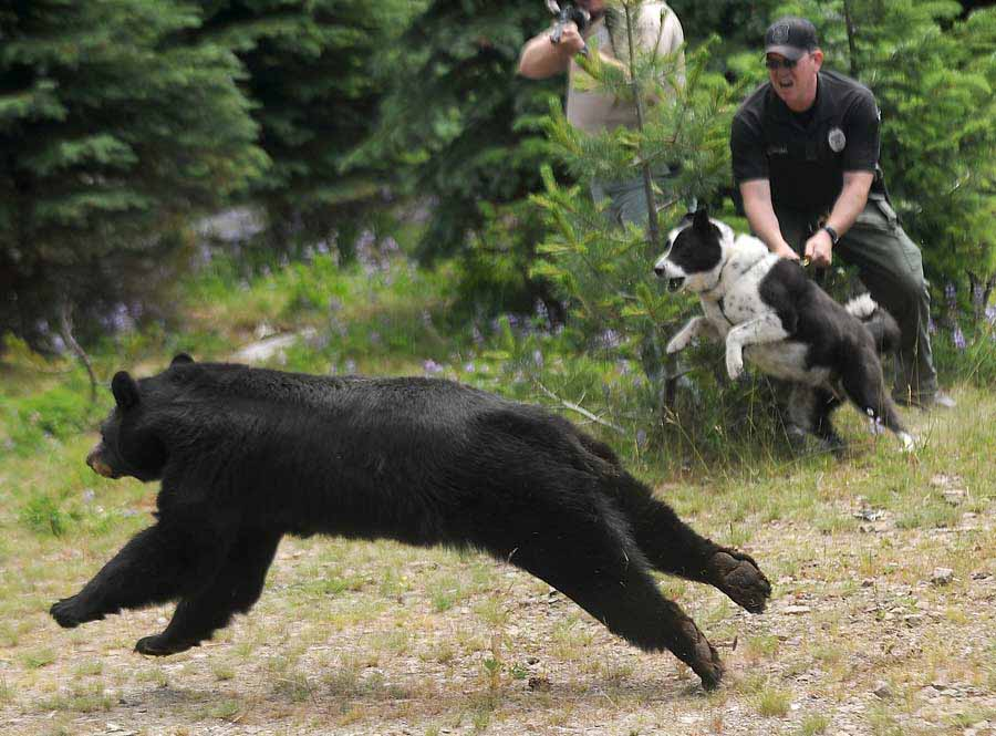 Police Officer Christopher Pekema, from Joint Base Lewis-McChord, in Washington state, right, holds on to Mishka, a Karelian bear dog, as Washington Fish and Wildlife officials release a black bear Aug. 3, 2011, in a remote area of the Cascade Range.