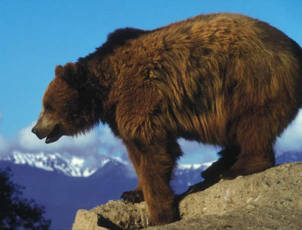 Grizzly bear managers across North America are sharing information on how to reduce bear-human conflicts.