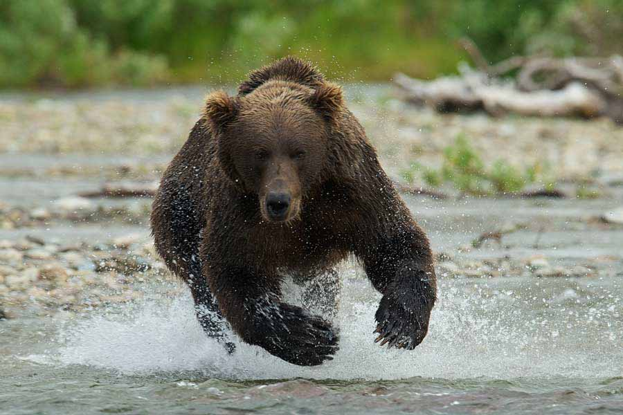 A coastal brown bear charges toward the camera in a still from The Ends of the Earth, an in-progress film about the Aniakchak National Monument and Preserve in  Alaska. The film is among those to be screened Sept. 13-15 at the Second Annual Grand Teton National Park Film Festival. (Photo courtesy of Roy W. Wood - click to enlarge)