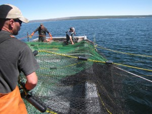 The Hickey Brothers, working a contractor boat for the National Park Service, set their trapping net for lake trout on Yellowstone Lake. The trapping efforts have been taking place since 2010. (Dan Hottle/NPS — click to enlarge)