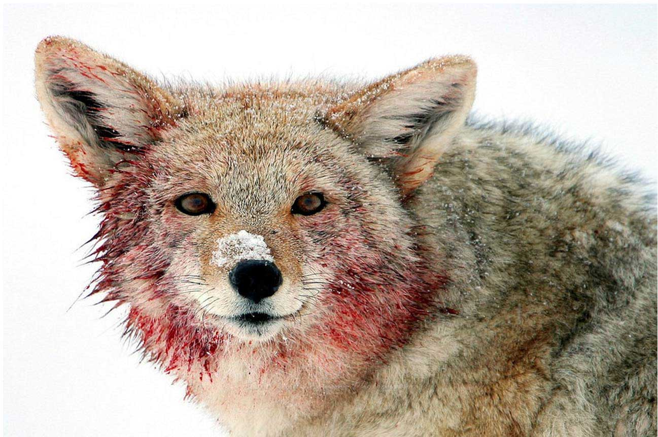 A coyote is smeared with elk blood after feeding on a carcass in the Lamar Valley in Yellowstone National Park. (©Meg Sommers - click to enlarge)