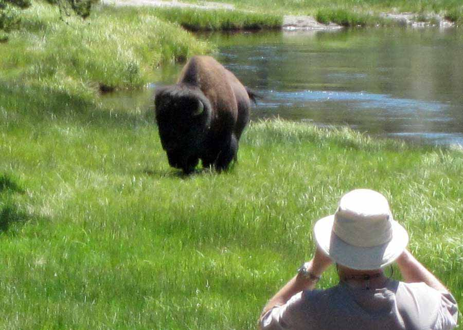 Yellowstone National Park visitor Robert Dea usues binoculars to watch a bison moments before it gores him. (courtesy photo by Barbara Dea - click to enlarge)