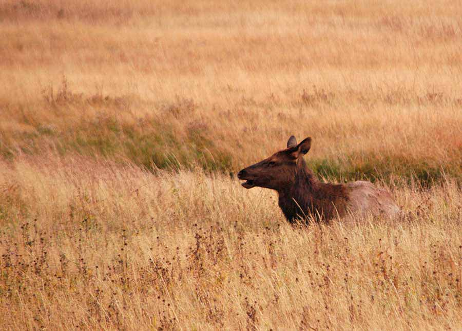 An elk cow from a herd in southern Yellowstone National Park relaxes in high grass. (Ruffin Prevost/Yellowstone Gate - click to enlarge)