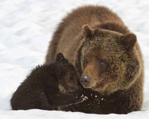 Blaze, a grizzly bear that has raised many cubs in Yellowstone National Park, sits in the snow with her cub-of-the-year in May 2011. (©Sandy Sisti - click to enlarge)