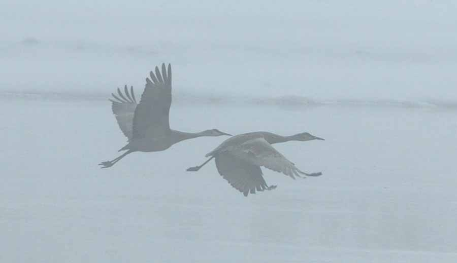 A thick fog shrouds a pair of sandhill cranes as they flow over the junction of Trout Creek and the Yellowstone River in Yellowstone National Park. (Ruffin Prevost/Yellowstone Gate - click to enlarge)