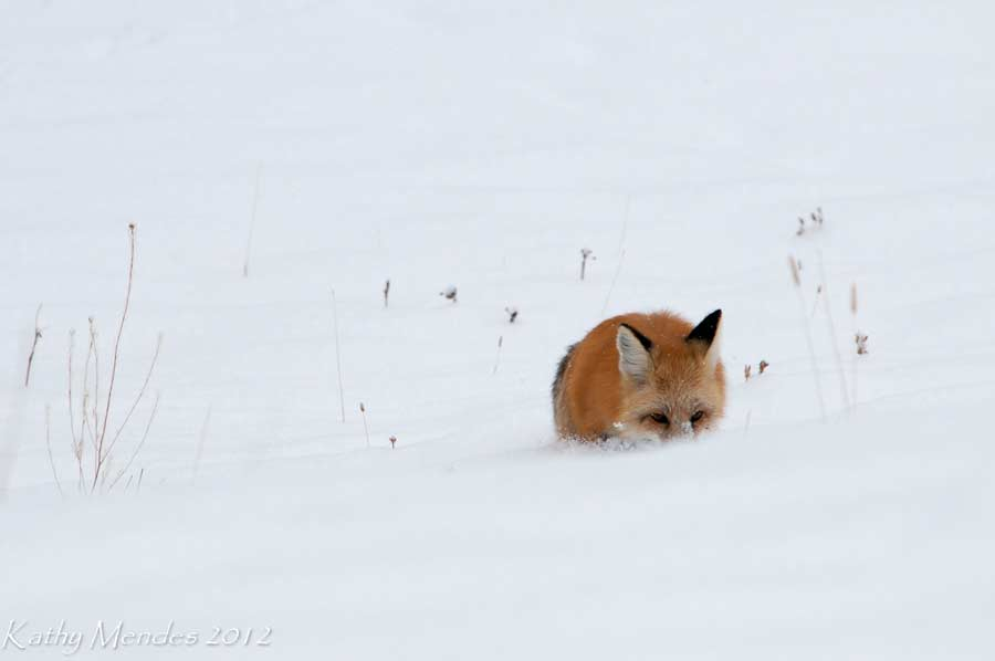 A red fox listens for prey beneath the snow in Yellowstone National Park. (©Kathy Mendes - click to enlarge)