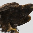 A golden eagle is spotted in the snow north of Powell, Wyo., east of Yellowstone National Park. (photo ©Rob Koelling —click to enlarge)