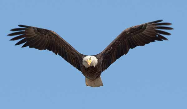The Yellowstone Park Foundation has announced $600,000 in grants for a variety of projects in the park, including $85,000 toward a continuing five-year study of raptors that nest in or use Yellowstone. (Neil Mishler/USFWS)