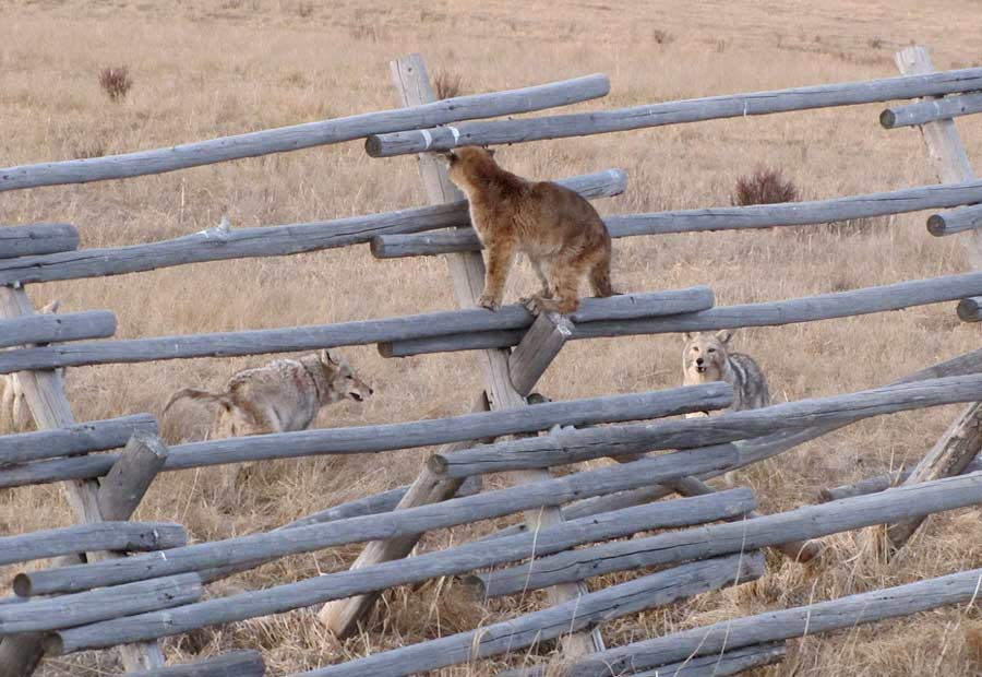 A young mountain lion clings to a rail fence in the National Elk Refuge bordering Grand Teton National Park as coyotes look on and wait. (Lori Iverson/USFWS-click to enlarge)
