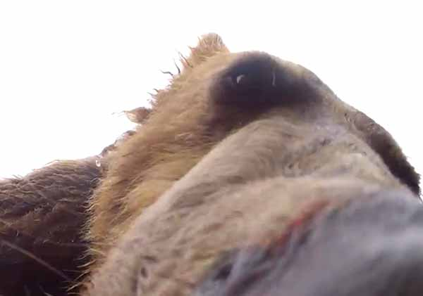 A still frame from a video shot by Brad Josephs of a grizzly bear sniffing a camera. (©Brad Josephs)