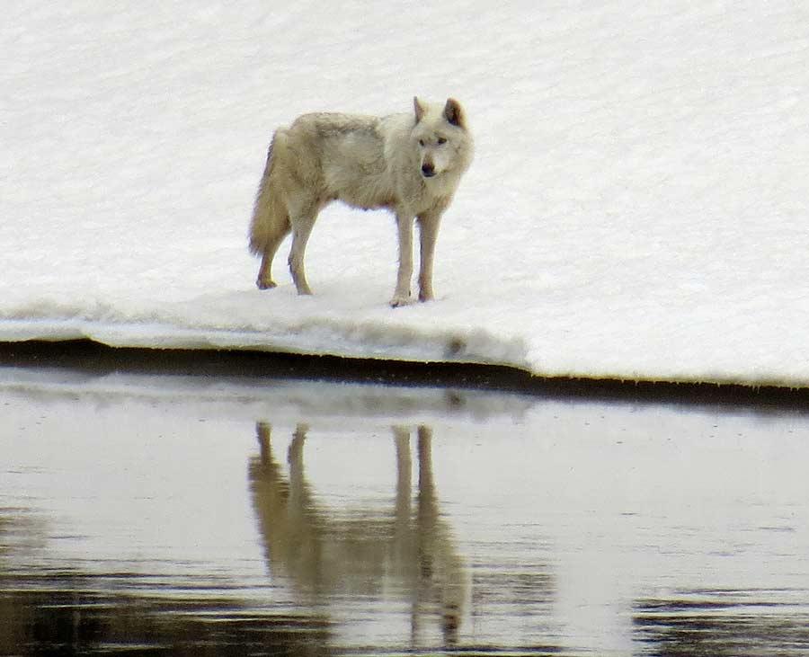 A wolf gazes across the Yellowstone River in Yellowstone National Park. (photo ©Bob Richard)