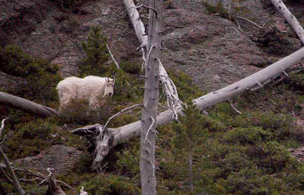 A mountain goat watches from a steep hillside south of Norris in Yellowstone National Park. (Ruffin Prevost/Yellowstone Gate)