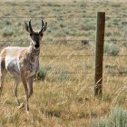 Volunteers are sought to help with a project in Grand Teton National Park that will replace the bottom strand of barbed wire on fencing with smooth wire located higher off the ground, allowing pronghorn antelope to more easily pass underneath.