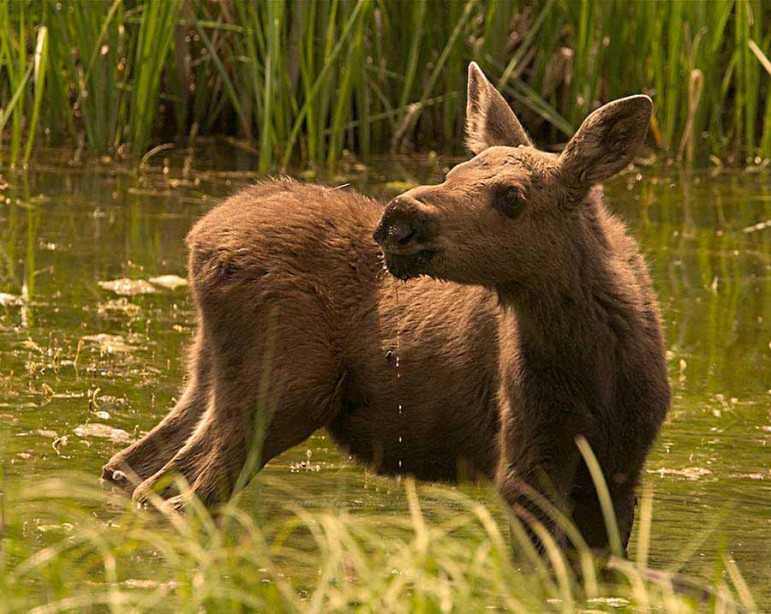A moose calf wades through a marshy meadow near the East Gate of Yellowstone National Park.