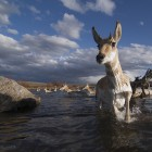 Pronghorn antelope make one of five river crossings during their migration from Grand Teton National Park to Wyoming's Green River Basin. ©Joe Riis
