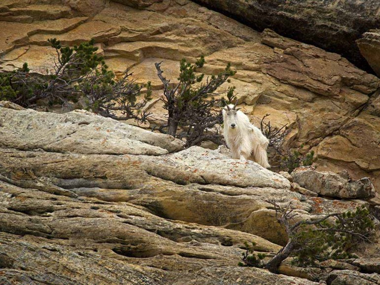 A mountain goat peers out from among the rocks along a hiking trail on Bald Ridge east of Cody, Wyo.