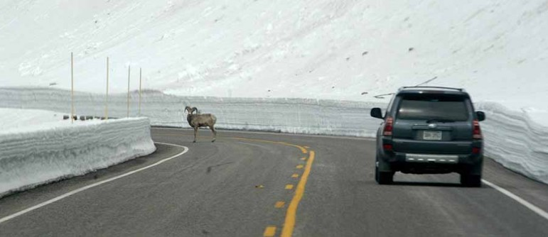 A bighorn sheep stands in the middle of the East Entrance road east of Sylvan Pass in Yellowstone National Park as spring 2014 visitors enter the park from Cody, Wyo.
