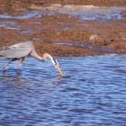 A great blue heron searchers for food near Trout Creek in Yellowstone National Park.