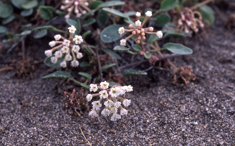 Yellowstone sand verbana is found only along the shores of Yellowstone Lake.