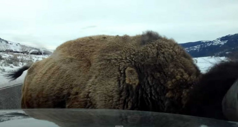 A video screen capture shows a bison in Yellowstone National Park as it rams a parked vehicle in the Lamar Valley.