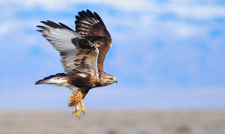 A rough legged hawk takes flight east of Yellowstone National Park.