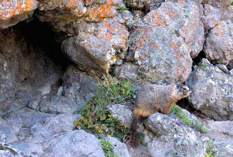 A yellow-bellied marmot watches from the front of its den near Old Faithful Geyser in Yellowstone National Park.