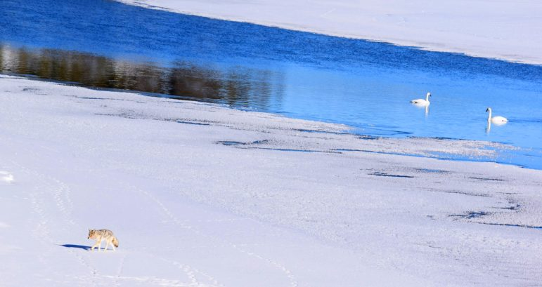 A coyote prowls alongside a group of swans near Fishing Bridge in Yellowstone National Park.