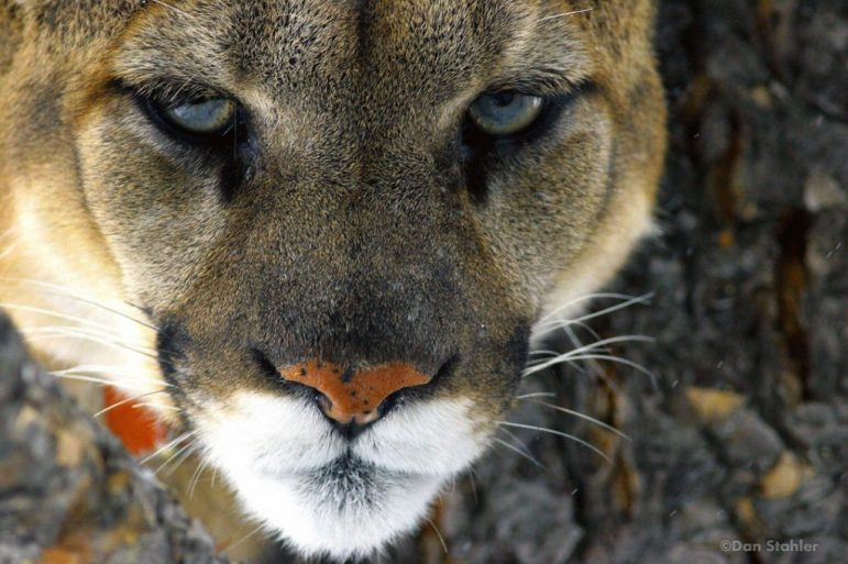 A cougar in Yellowstone.